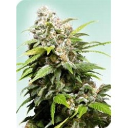 CALIFORNIA INDICA® * SENSI SEEDS 10 SEMI REG