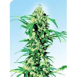 EARLY GIRL® * SENSI SEEDS 10 SEMI REG