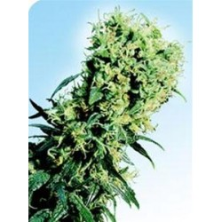 EARLY PEARL® * SENSI SEEDS 10 SEMI REG