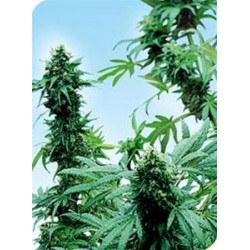 EARLY SKUNK® * SENSI SEEDS 10 SEMI REG