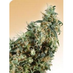 FIRST LADY® * SENSI SEEDS 10 SEMI REG