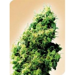 FOUR-WAY® * SENSI SEEDS 10 SEMI REG