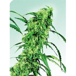 FRUITY JUICE® * SENSI SEEDS 10 SEMI REG