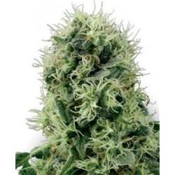 PURE POWER PLANT * SENSI WHITE LABEL 10 SEMI FEM