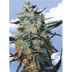 FEMINIZED MIX * THE FLYING DUTCHMEN   5 SEMI FEM