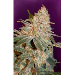BLACK DIESEL * ADVANCED SEEDS 10 SEMI FEM