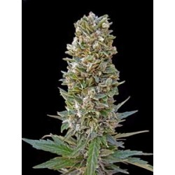 AUTOMATIK MIX * ADVANCED SEEDS   3 SEMI FEM
