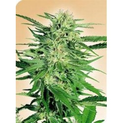 BIG BUD * SENSI SEEDS  5 SEMI FEM