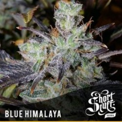 BLUE HIMALAYA * SHORT STUFF SEEDS 10 SEMI REG