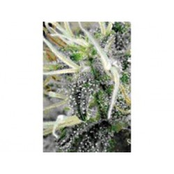 NL5 X HAZE * MR NICE LIMITED EDITION 15 SEMI REG