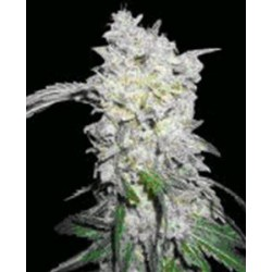 AFGHAN SKUNK * MR NICE LIMITED EDITION 15 SEMI REG