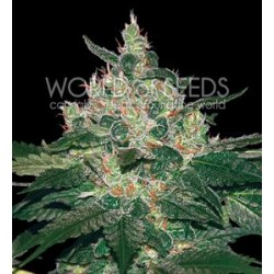 AFGHAN KUSH * WORLD OF SEEDS   3 SEMI FEM