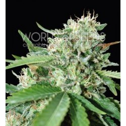 BRAZIL AMAZONIA * WORLD OF SEEDS   3 SEMI FEM