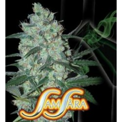 GREEN LOVE POTION * SAMSARA FEMINIZED   3 SEMI