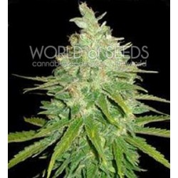 AFGHAN KUSH X BLACK DOMINA * WORLD OF SEEDS 12 SEMI FEM