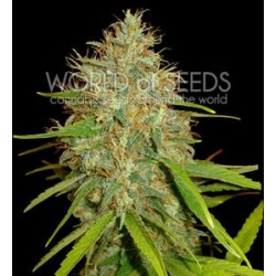 AFGHAN KUSH X SKUNK * WORLD OF SEEDS 12 SEMI FEM