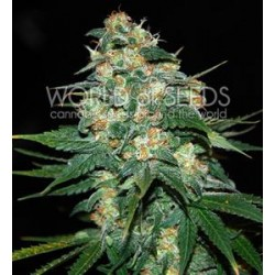 SKUNK 47 * WORLD OF SEEDS 12 SEMI FEM