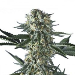 BAT GUM * HERO SEEDS   5 SEMI FEM