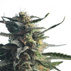 DIESEL GIRL * HERO SEEDS 10 SEMI FEM