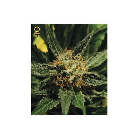 DIAMOND GIRL * GREEN HOUSE FEMINIZED 10 SEMI