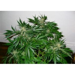 EARLY SKUNK * MR NICE NATURAL 15 SEMI REG