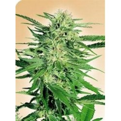 BIG BUD * SENSI SEEDS 10 SEMI REG