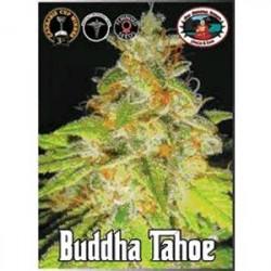 BUDDHA TAHOE * BIG BUDDHA 10 SEMI FEM