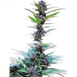 DELUXE MIX * CANNABIOGEN   6 SEMI FEM
