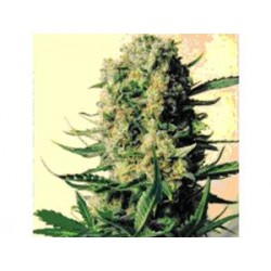 CRITICAL SKUNK * MR NICE NATURAL 15 SEMI REG