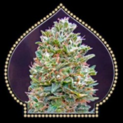 AUTO BUBBLE GUM * 00SEEDS  5 SEMI FEM