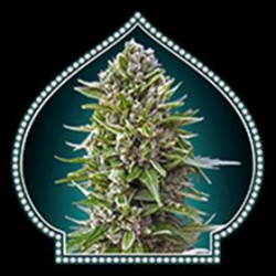 AUTO NORTHERN LIGHT * 00SEEDS  5 SEMI FEM