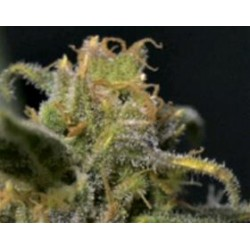 AUTO NORTHERN * CBD SEEDS  1 SEME FEM