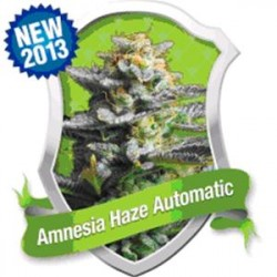 AMNESIA HAZE AUTOMATIC * ROYAL QUEEN SEEDS   3 SEMI FEM