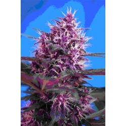 AUTO RED POISON * SWEET SEEDS RED FAMILY FEMINIZED   5 SEMI