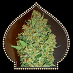AUTO CHEESE BERRY* 00SEEDS  5 SEMI FEM
