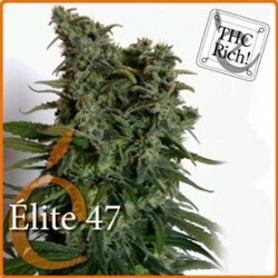 ELITE 47 * ELITE SEEDS 7 SEMI FEM