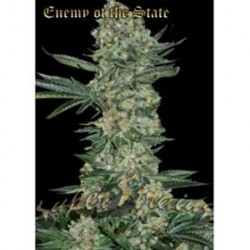 ENEMY OF THE STATE * SUPER STRAINS  SEEDS FEMINIZED   1 SEME FEM