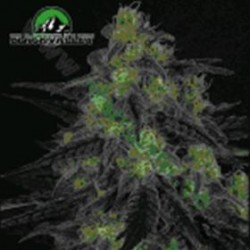 BLACKVALLEY * RIPPER SEEDS   5 SEMI FEM