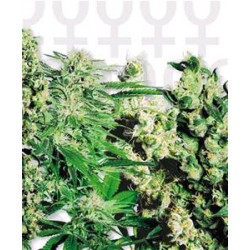 FEMINIZED MIX * SENSI SEEDS  5 SEMI FEM