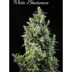 WHITE BHUTANESE  * MANDALA SEEDS 3 SEMI FEM