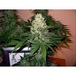 ROCKLOCK * DNA GROW YOUR OWN 3 SEMI FEM