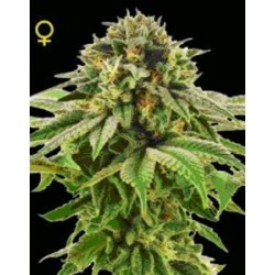 GRAPE LA * DNA GENETICS LIMITED COLLECTION 6 SEMI FEM
