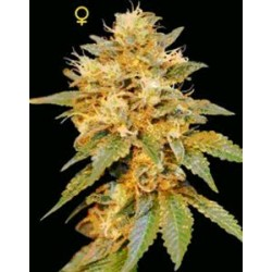 SNOWLAND * DNA GENETICS LIMITED COLLECTION 6 SEMI FEM