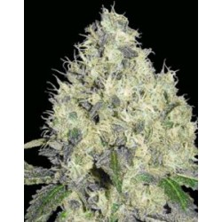 91 KRYPT  * DNA GENETICS LIMITED COLLECTION  6 SEMI REG