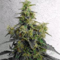 DIESELTONIC * RESIN SEEDS FEMINIZED 3 SEMI