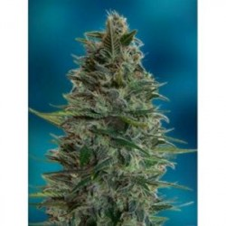 AUTO BLUEDIESEL * ADVANCED FEMINIZED  1 SEME