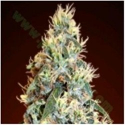 AUTO JACK HERER * ADVANCED SEEDS  10 SEMI FEM