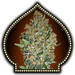 FEMINIZED COLLECTION #1 * 00SEEDS  6 SEMI FEM