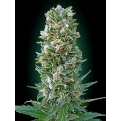 AUTO HEAVY BUD* ADVANCED SEEDS  10 SEMI FEM