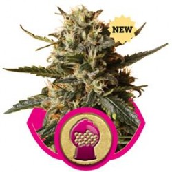 BUBBLE GUM XL * ROYAL QUEEN SEEDS   3 SEMI FEM